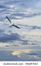 Seagull flying in sunset sky with clouds, Freedom concept