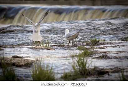 Seagull flying with Ventas Rumba waterfall in background