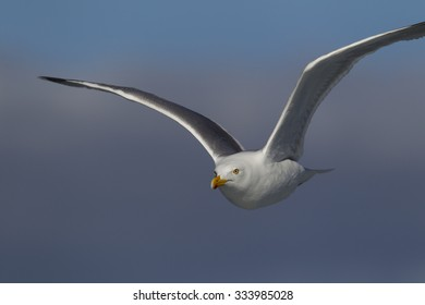 Seagull flying very close to the photographer