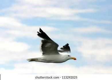 Seagull Flying, Walvis Bay, Namibia