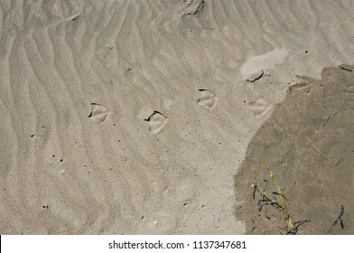 Seagull Footprints at the Beach