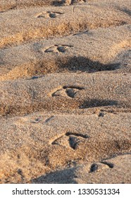 Seagull footprints in sand at beach on a winter day during sunset.