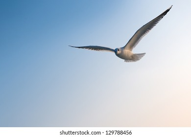 Seagull front of blue sky