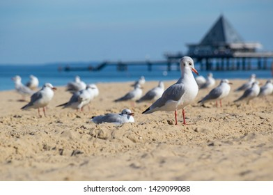 Seagull in front of pier in Ahlbeck, Usedom Baltic Sea.