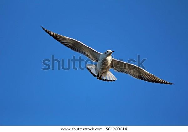 A seagull in full flight against a clear blue sky.