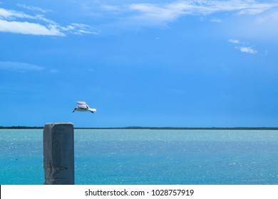 A seagull gently comes in for a landing against an azure blue sky behind the glistening waters of Bimini Bay, Bahamas.