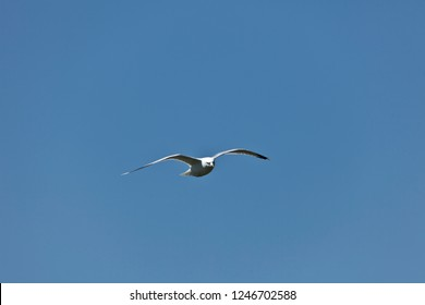 Seagull glides casually with the wind