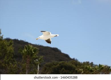 Seagull Gliding Over The California Coastline