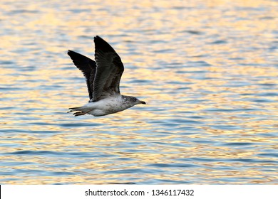 Seagull gliding over a lake at sunset with golden reflections