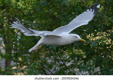 Seagull gliding with wings wide spread. Trees in the background.
