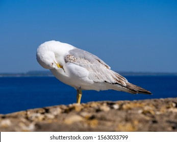 Seagull grooming its plumage by the sea before a blue sky background