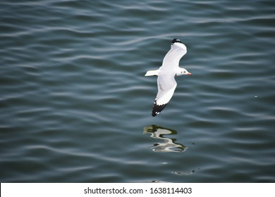 Seagull or Gulls flying over river. Background of bird.