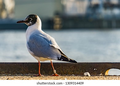 seagull in hamburg on the water