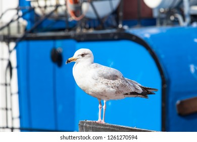 Seagull at harbor in front of blue ship background (copy space)
