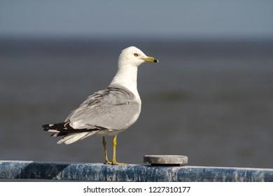 Seagull at Harbor - Mississauga