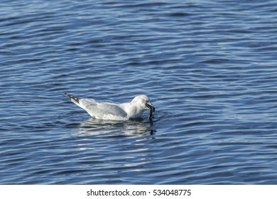 Seagull has fish in beak on Coeur d'Alene Lake in north Idaho.