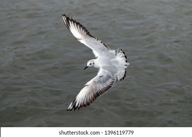 Seagull hover over deep blue sea.Flying seagull, top view
