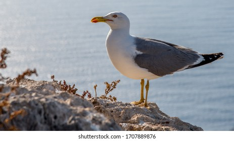 Seagull at Ifach above Calpe in the morning sun