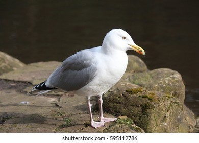 Seagull Illuminated by Spring Sunshine in Park.