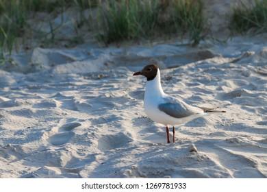 Seagull in Jurmala Beach, Latvia
