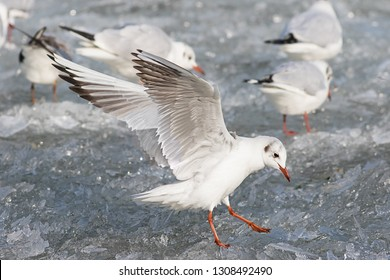 seagull landing on ice. Ammersee frozen in wintertime