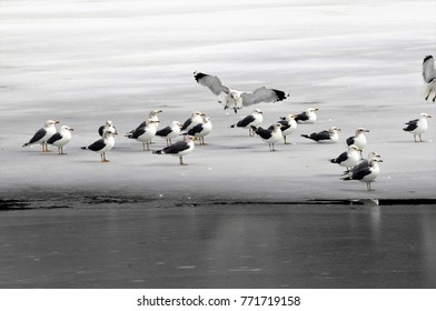 Seagull lands among other gulls on frozen lake all in gray, white and black