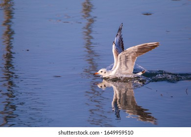 Seagull (Larus Argentatus) spectacularly landing on water and splashing water