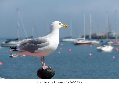 Seagull looking out to sea in Falmouth, Cornwall UK.
