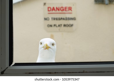 A seagull looking in through a window, with a 'no trespassing' sign in the background, in Dartmouth, Devon.