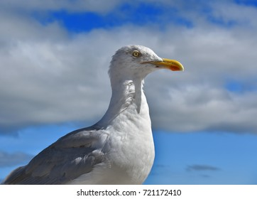 Seagull lose up portrait with blue sky.