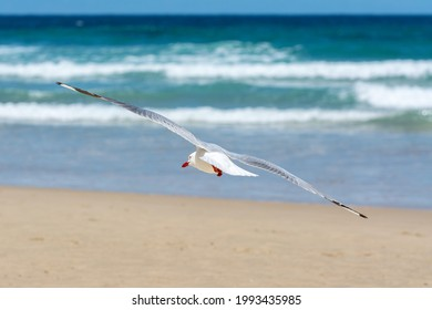 Seagull making a turn while flying on a sunny day at the beach.  Photographed from behind.