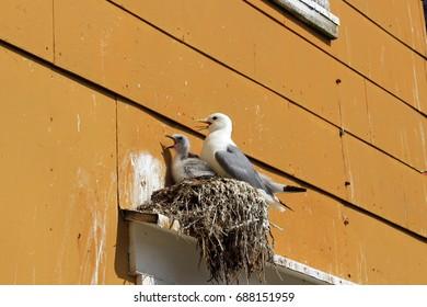 Seagull, mirroring