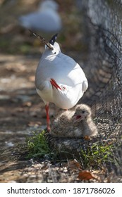 Seagull mother is protecting her chick.