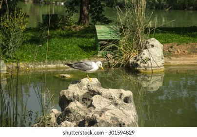 Seagull in nature on a pond