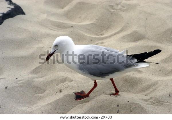 Seagull on the beach.