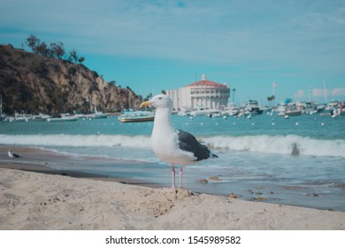 Seagull on a beach next to the blue ocean at Catalina Island, California, USA