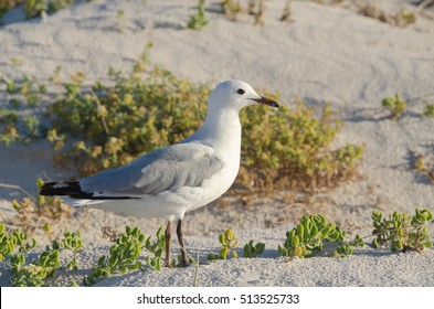 Seagull on a beach at the west coast of Africa