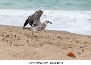 Seagull on the Black Sea on the yellow sand
