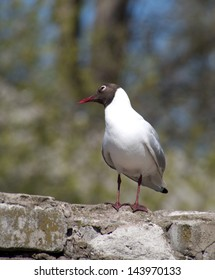 Seagull on a brick fence
