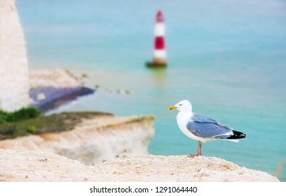 Seagull on the Cliff near the Famous Lighthouse at Beachy Head, Eastbourne Downland, South Downs National Park, England