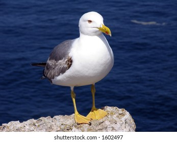 seagull on a cliff, ready to fly