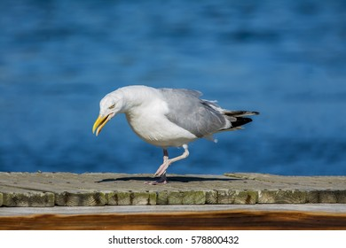 Seagull on the dock looking for dinner