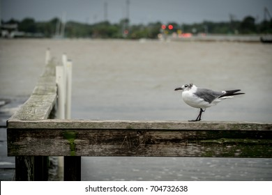 Seagull on Flooded boat dock on Clear Lake during Hurricane Harvey