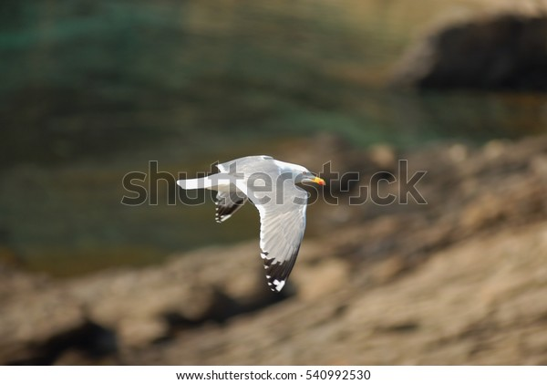 Seagull on the French coast