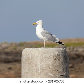 Seagull on granite block - Larus argentatus in front of a blue Summer Sky in Barfleur, Basse Normandy, France