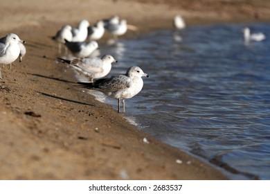 Seagull on Lake Wheeler, Raleigh, nc
