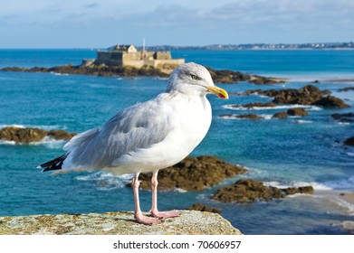 Seagull on the rampart of St Malo