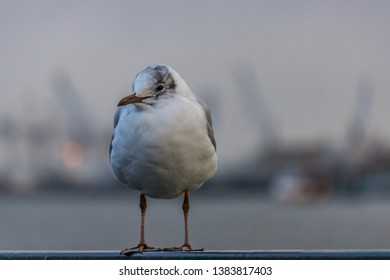 seagull on the river, in Hamburg