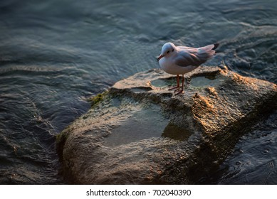 Seagull on a rock at dusk