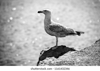 Seagull on a rock of the seashore, black and white image